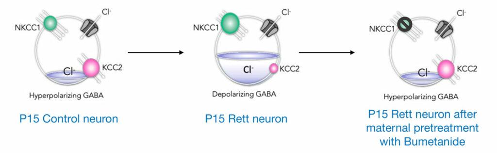 La séquence de développement du GABA est altérée dans un modèle souris du syndrome de Rett